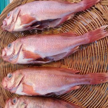싱싱수산 제수용 빨간고기1미(31~41cm내외)