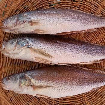 싱싱수산 제수용 민어조기3미(42~43cm내외)