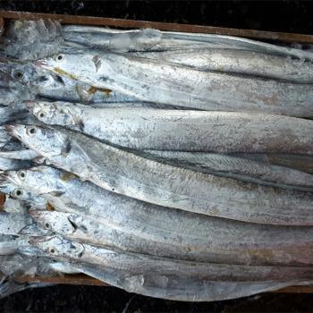전복마을 생물 먹갈치10미(폭3~4cm/마리당100~120g내외)