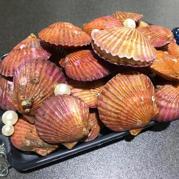 통영해풍 홍가리비2kg(40~60미내외)