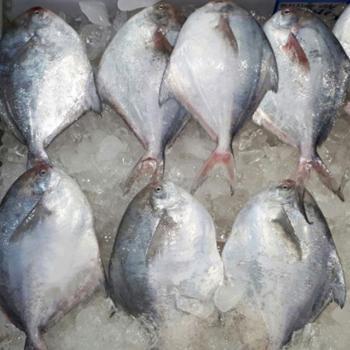 전복마을 횟감용 손질 신안 생물병어(중)1미(300g내외)