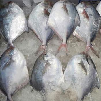전복마을 찜,구이용 손질 신안 생물병어(중)1미(300g내외)