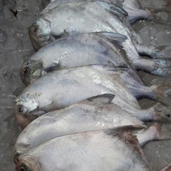 전복마을 횟감용 손질 신안 생물병어(대)1미(350g내외)